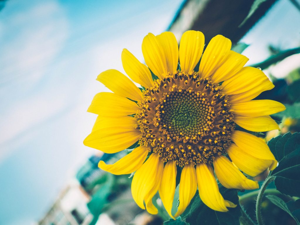 Sunflower Oil has many hair and skin benefits