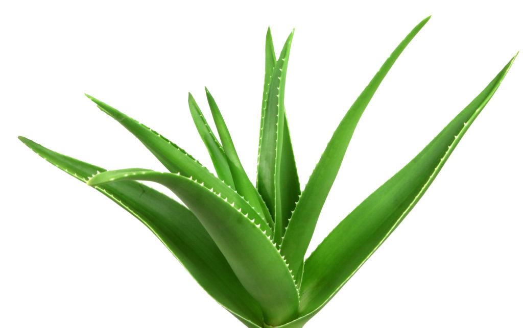 The gel of the Aloe Vera plant nourishes and soothes skin and hair