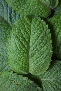 Style Chicks Glossary of Skin and Hair Terms. Peppermint glossary definition on StyleChicks.com Peppermint leaves