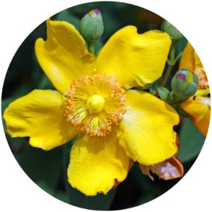 St. John's Wort In skincare definition on StyleChicks.com