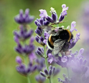 Lavender Essential Oil from the Lavender flower