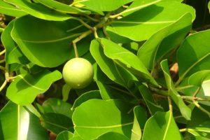 Tamanu Oil nut on a Tamanu Tree.