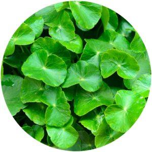 Centella Asiatica AKA Gota Kola improves skin elasticity