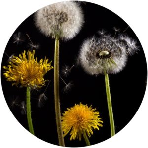 Dandelion extract and Vitamin C