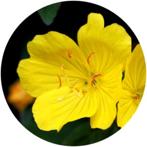 evening primrose in Kat Burki.