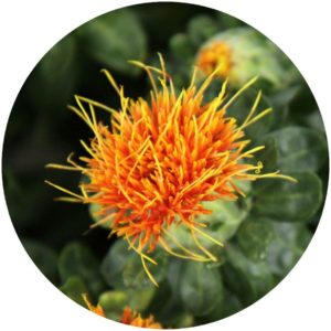 Safflower. StyleChicks.com explains Kat Burki Nutrient-C Eye Cream ingredients.