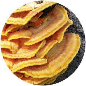 reishi mushroom in Kat Burki