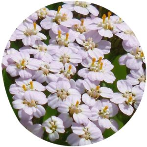 Yarrow ingredient definition on StyleChicks.com