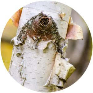 White Birch Bark Ingredients on StyleChicks.com