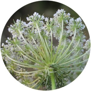 Wild carrot definition in StyleChicks Defining Beauty Glossary of Beauty Terms