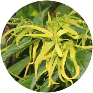 Ylang-Ylang Ingredient Definition on StyleChicks.com