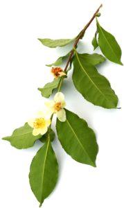 Flowering Camellia Sinensis