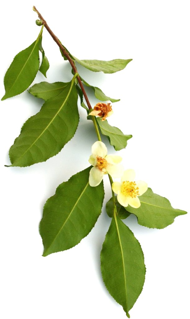 Sonage contains Flowering Camellia Sinensis