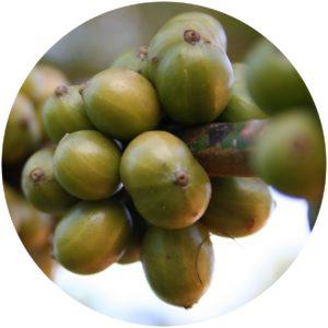 Green coffee smooths skin