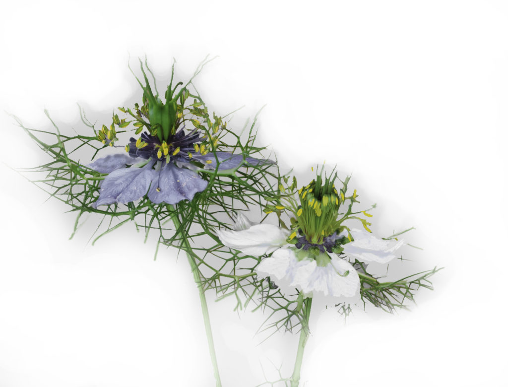 Black Seed Oil comes from the lovely Nigella sativa flower