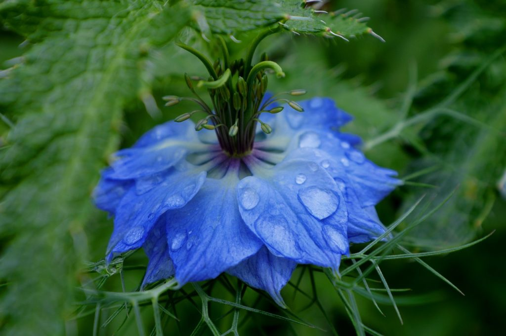 Black Seed Oil comes from seeds of the virgin on the green flower