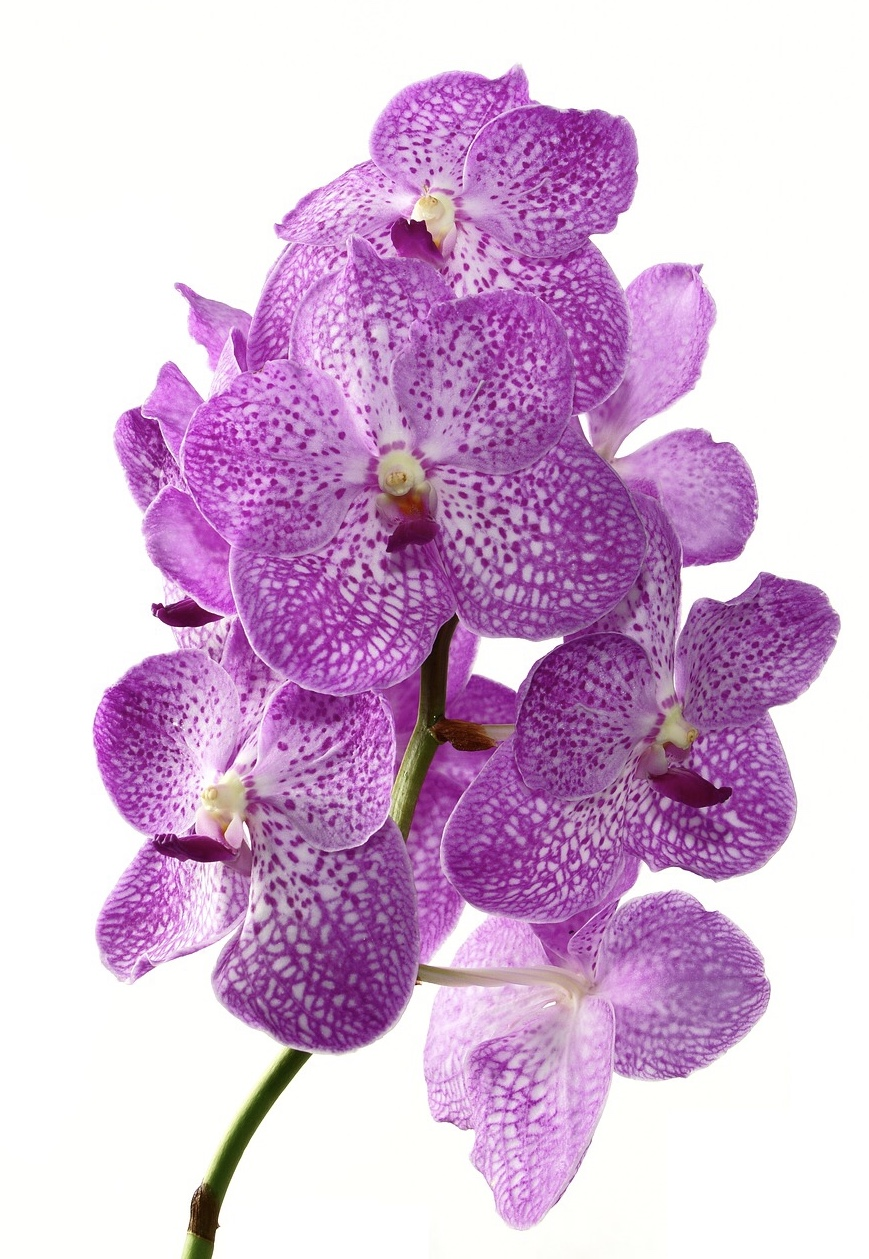 Orchid extracts have a high water binding capacity, working as a moisturizer and emollient