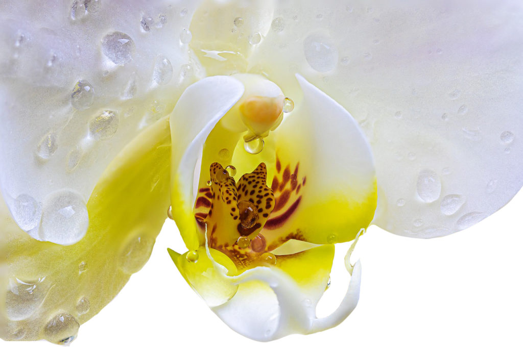 Orchid extracts are exceptionally skin hydrating