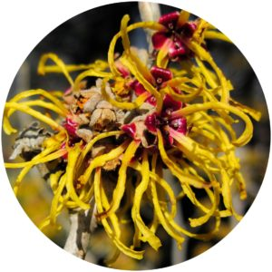Witch Hazel is a natural toner