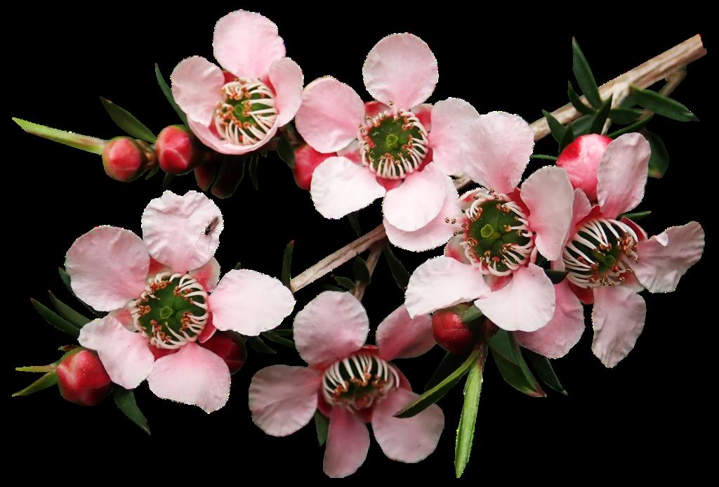 The lovely Flowering Tea Tree