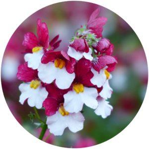 Elfe Flower Extract definition StyleChicks.com glossary