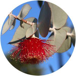 Eucalyptus Definition on on StyleChicks