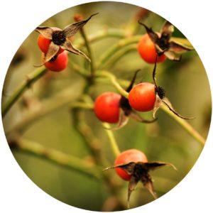 Rosehips contain vitamin C