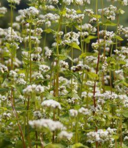 Buckwheat crop stalks before harvesting