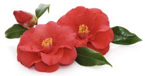 Tsubaki Camellia