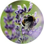 Lavender Oil softens hair and skin