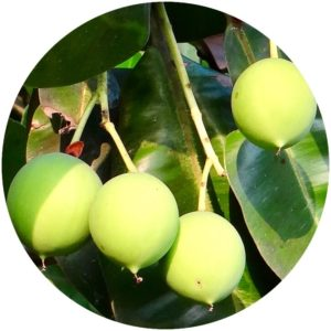 Tamanu oil comes from this nut