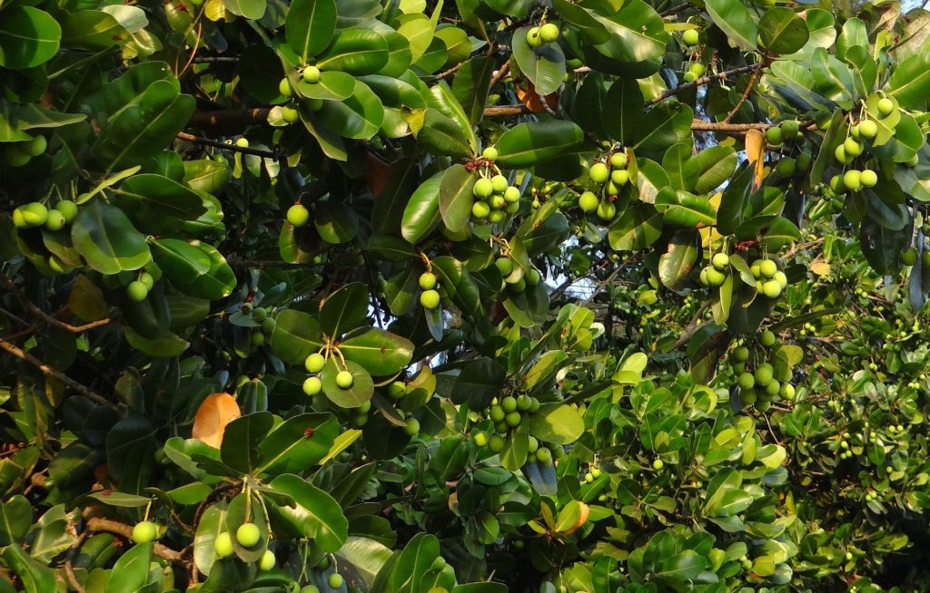Tamanu Oil comes from the nuts of the Tamanu Tree