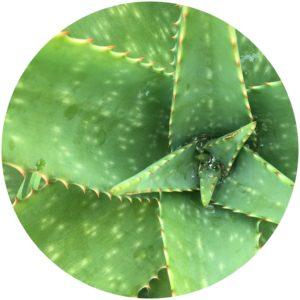 Aloe vera nourishes delicate eye skin
