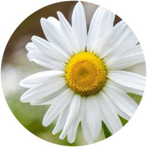 Camomile. StyleChicks.com explains Kat Burki Nutrient-C Eye Cream ingredients.