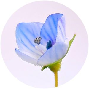 StyleChicks defines ingredients glossary term Veronica Officinalis Extract