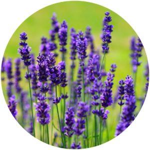 Lavender In Hairmetto