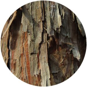 Cedarwood essential oil is a substance derived from the needles, leaves, bark, and berries of cedar trees.