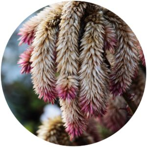 Amaranthus hypochondriacus