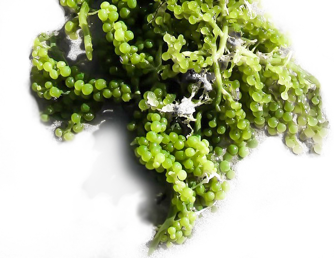 Sea Grapes algae promote collagen