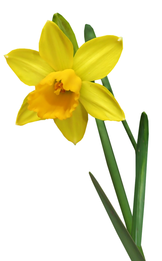 Daffodil Extract